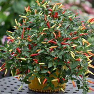 La coltivazione dei peperoncini in vaso