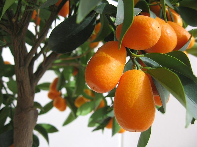 Il Kumquat, il mandarino cinese: piante da coltivare in vaso