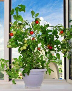 Abbellire la casa con una pianta di pomodori