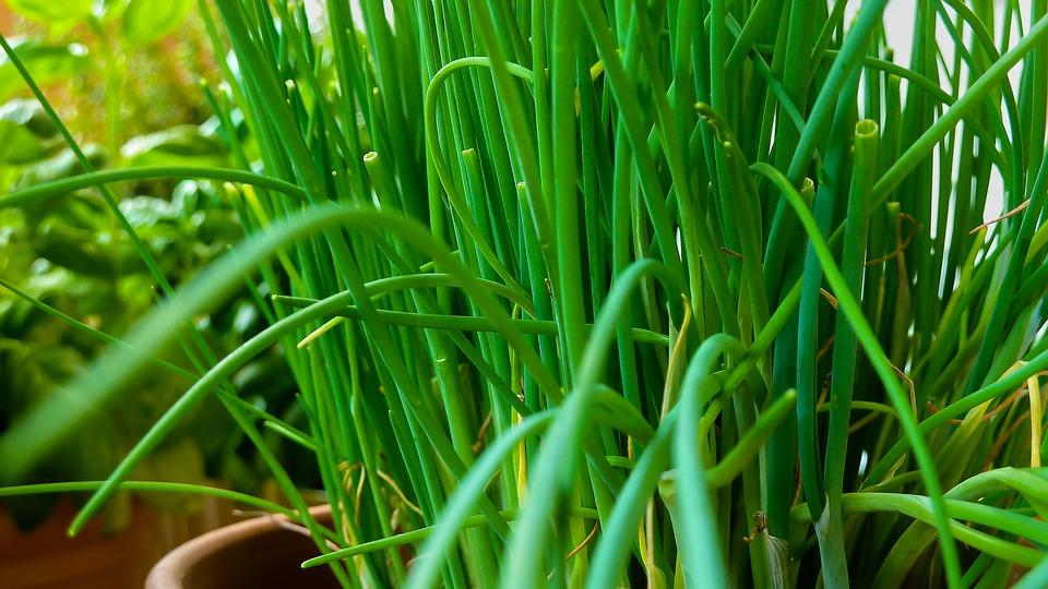 L'erba cipollina: piante da coltivare in vaso