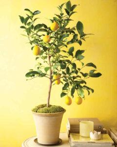 Crescere il limone in casa è facile