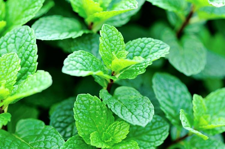 La menta: piante da coltivare in vaso